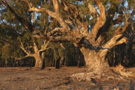 Ancient red-gums of Barmah
